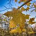 An autumn leaf (week 45)