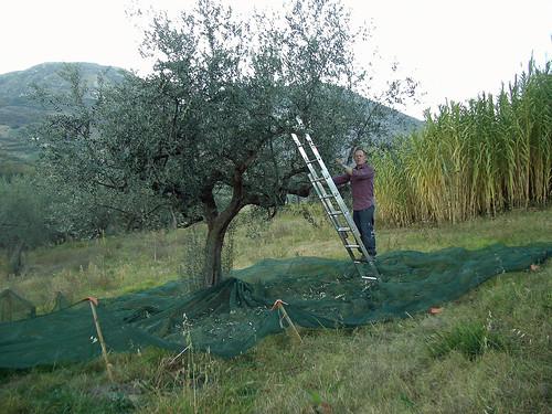 Olive picking November 2006 (1 of 5)