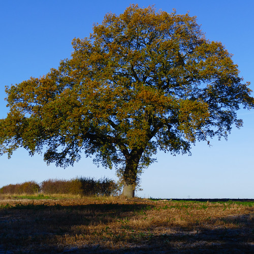 Oak tree, frosty autumn morning