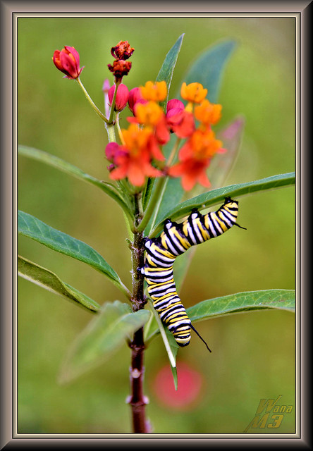 Another Monarch in the making