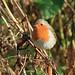 Posing Robin....