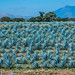 2017 - Mexico - Tequila - Blue Agave Field por Ted's photos - For Me & You