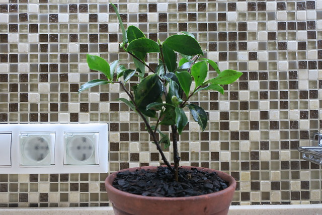 Camellia sasanqua Dwarf Shishi