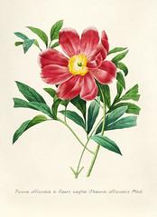 Antique plant drawn by Pierre-Joseph Redouté(1759-1840 ) by rawpixel.com