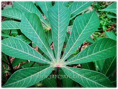 Beautiful leaves of Manihot esculenta (Tapioca, Cassava, Brazilian Arrowroot, Yuca, Ubi Kayu in Malay) that are deeply divided into 7 oblanceolate lobes, 17 Nov 2017