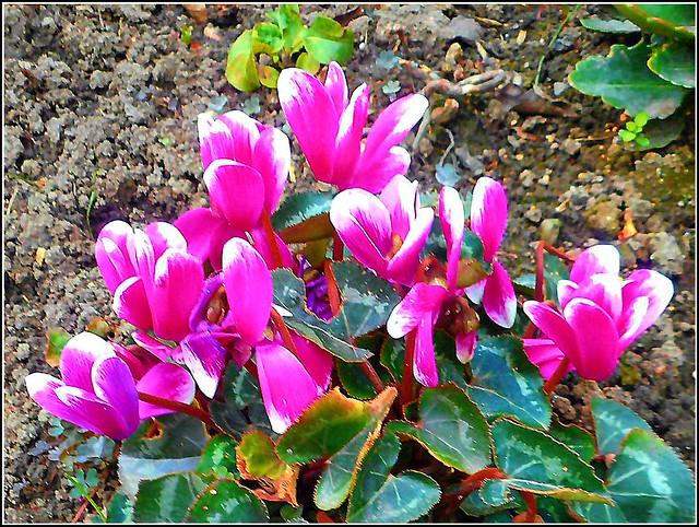 Cyclamen Flowers ..