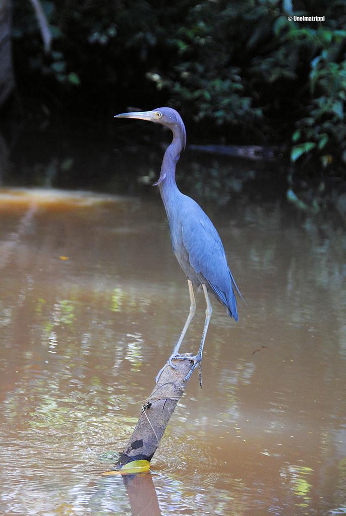 Lintu joella, Tortuguero, Costa Rica