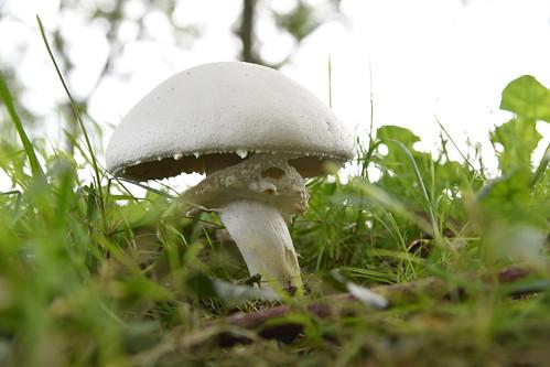 Schafchampignon, Weißer Anis-Champignon (Agaricus arvensis); Bergenhusen, Stapelholm (186)