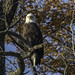 Another bald eagle in a tree - Staten Island, New York by superpugger