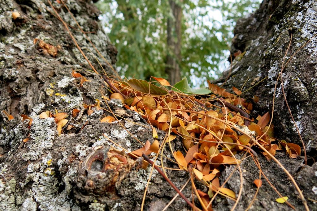 sobre la corteza, en la gran horquilla leñosa, las doradas hojas caídas, levemente mientras esperan al gelido viento, reposan