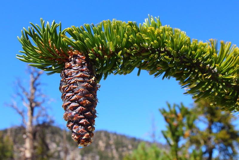 IMG_9846 Great Basin Bristlecone Pine Cone