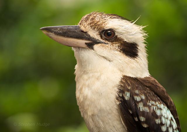 Kookaburra on our deck