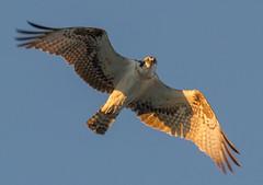 osprey eye