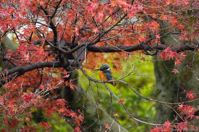 20171123-kingfisher-DSC_7839