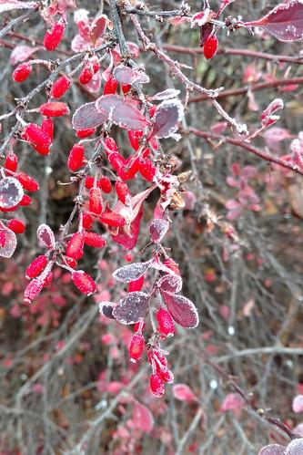 bayberryfrost
