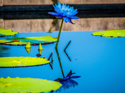Blue Flower in Lilypads