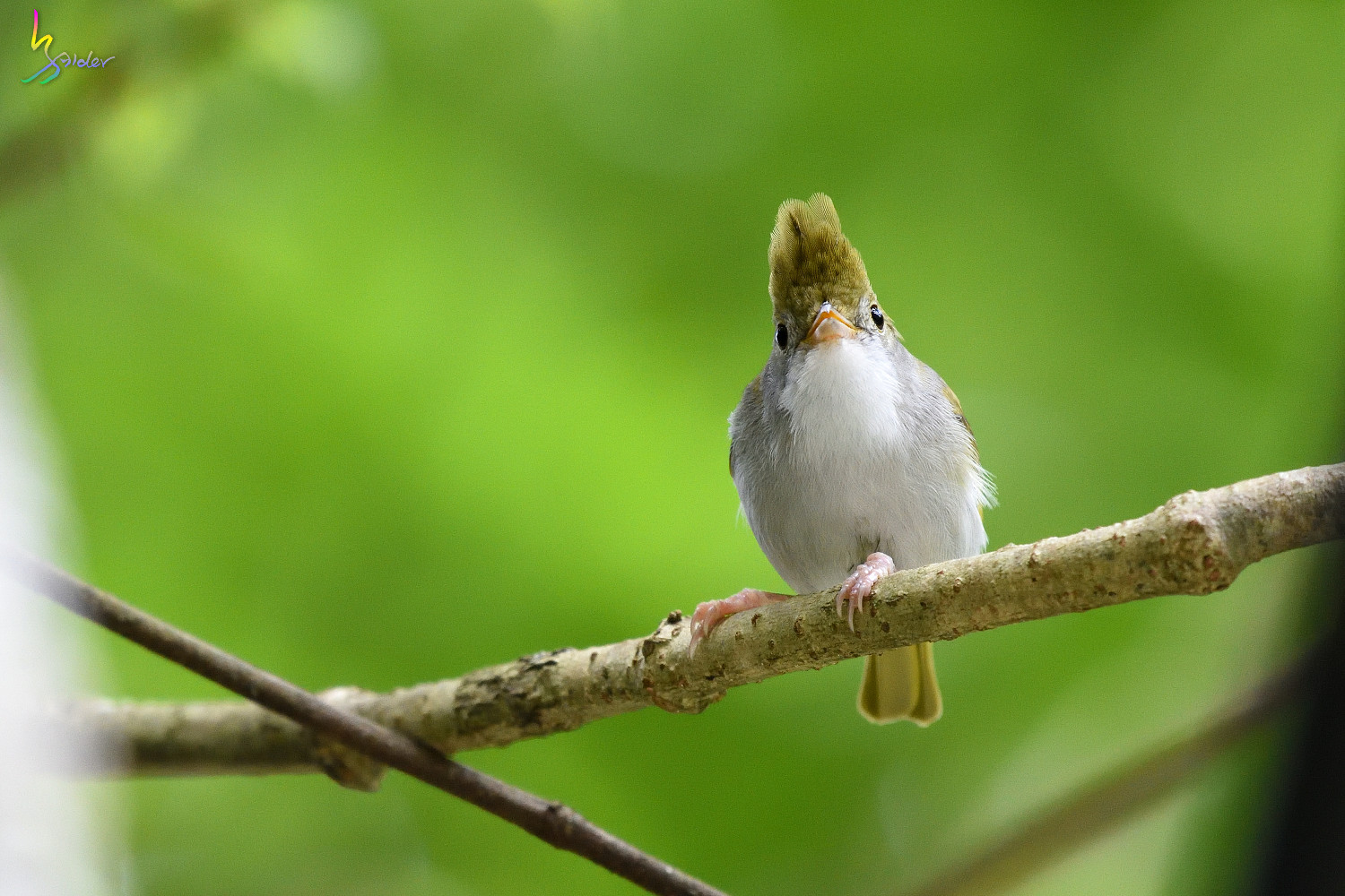 White-bellied_Yuhina_3587_01