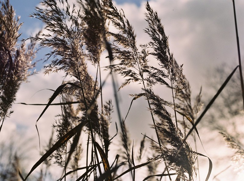 Reeds, Old Sneed Park Nature Reserve