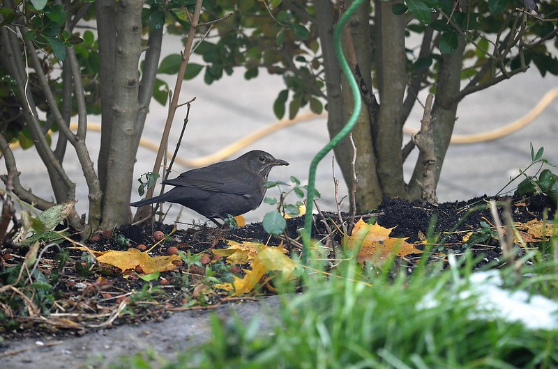 Blackbird 05.12 (1)