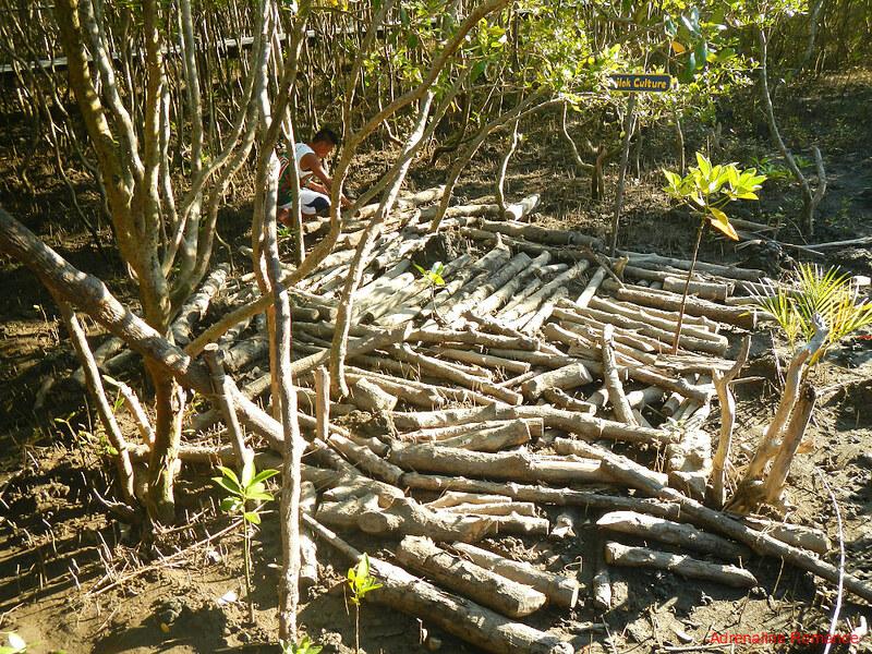 Dead mangrove trunks used to culture tamilok