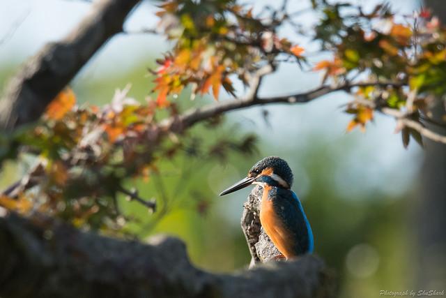 20171113-kingfisher-DSC_7615