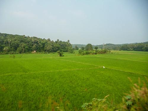 Kerala paddies