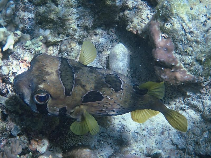 2017-11-09 07.15.59_Black-blotched Porcupinefish_Короткошипая рыба-еж