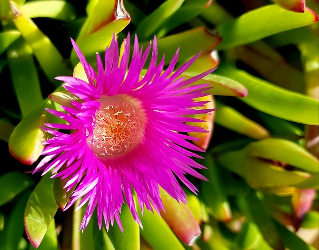 Dorotheanthus Bellidiformis Namibia