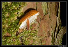 Collybie à pied velouté (Flammulina velutipes) - Photo of Saint-Seine-l'Abbaye