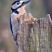 great spotted woodpecker 1 03 EJC #