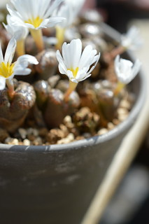 DSC_6562 Conophytum pellucidum S.W. Springbok コノフィツム ペルシダム