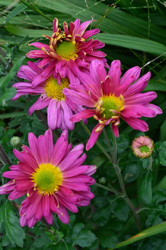 CHRYSANTHEMUM 'Helen Harrison'