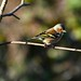 Chaffinch looking pretty in the sun. Fingeringhoe Nature reserve. by davidlawrence15