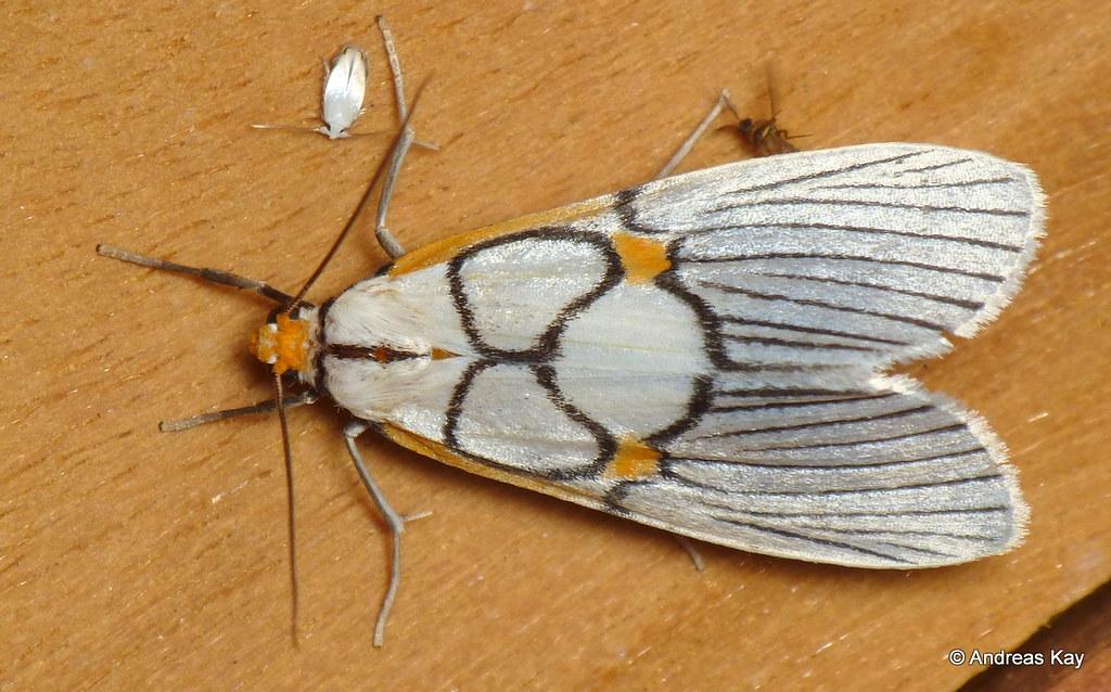 Notodontid moth, Zunacetha or Scotura annulata, Dioptinae