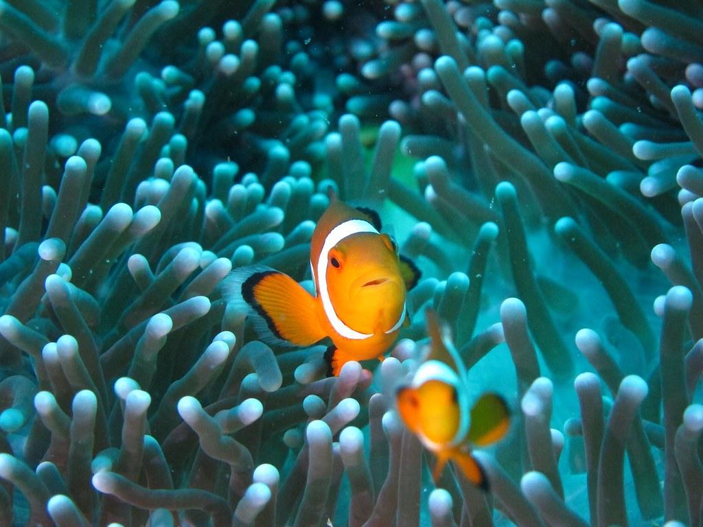 clownfish-2502825_1920