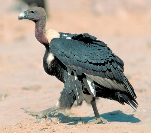 Tens of millions of Asian vultures–including the oriental whitebacked vulture (Gyps bengalensis) , above–have vanished from the Indian subcontinent since the early 1990s. From wikipedia.org