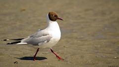 Mouette rieuse - (Chroicocephalus ridibundus) Black-headed Gull