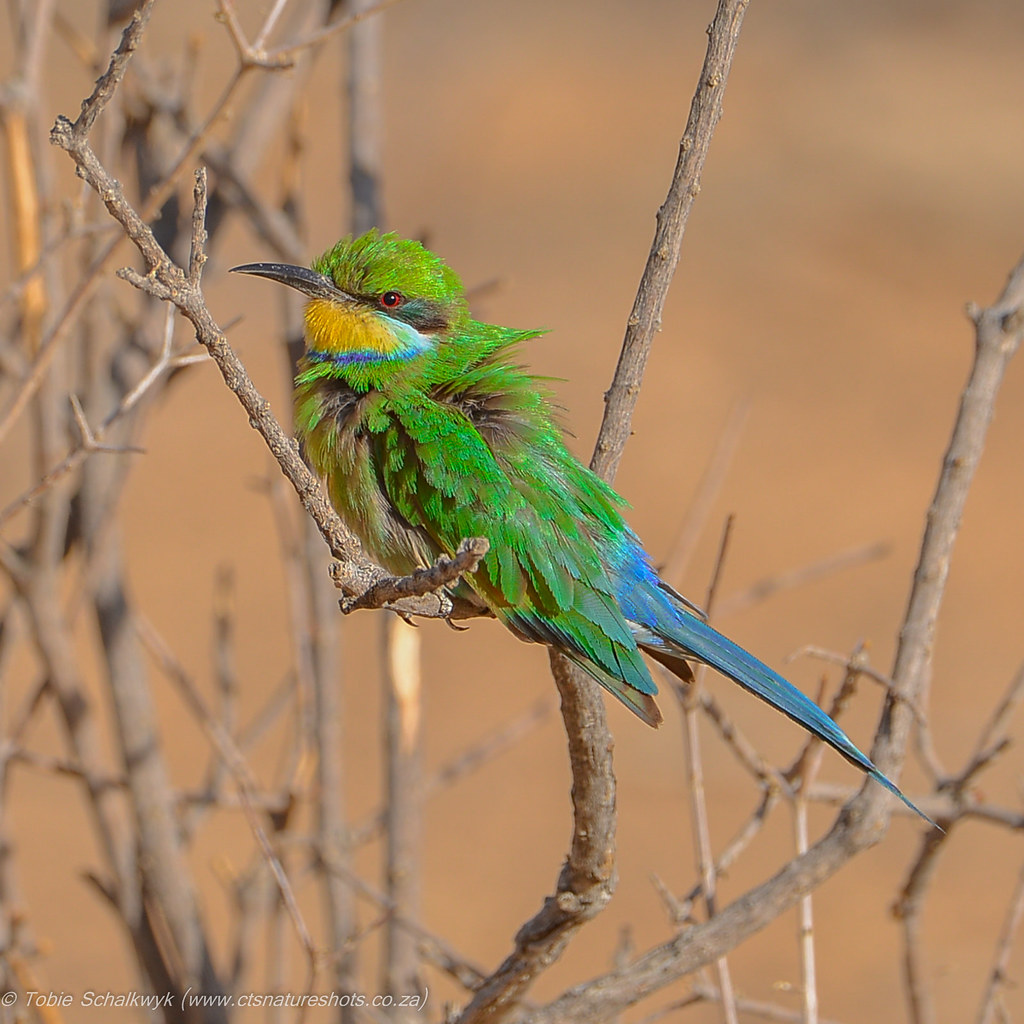 CTS_9449_bee_eater