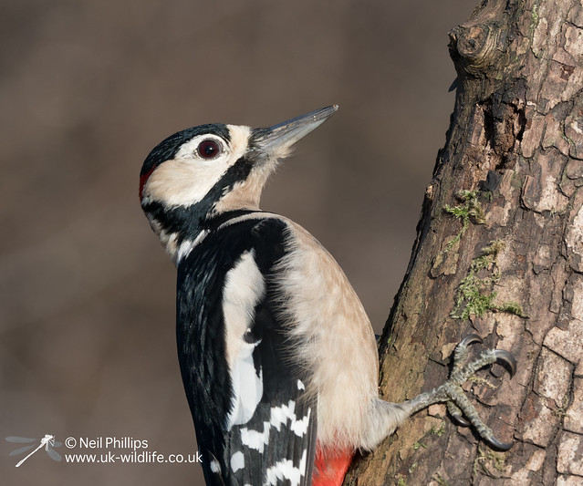 Greater spotted woodpecker-4