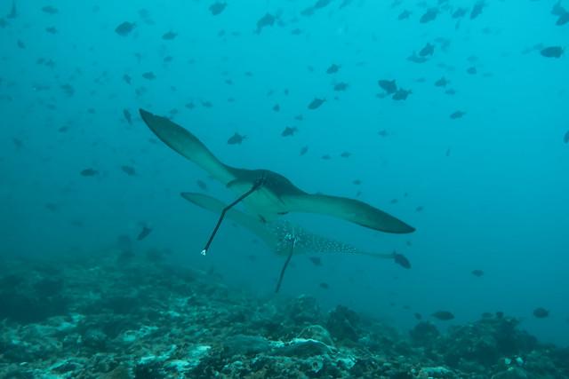 Aquile di Mare. Eagles Ray. (Aetobatus Narinari).