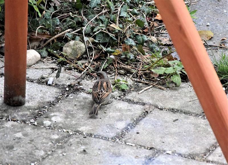 Sparrows 16.11 (2)