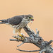 Merlin with prey (bird) X7A_8323-1