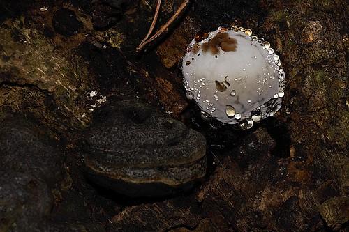 Tinder fungus - Echte tonderzwam
