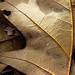 Dry oak leaf details