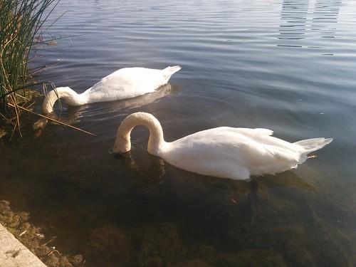 Two swans (4) #toronto #highpark #grenadierpond #birds #swans #white #latergram