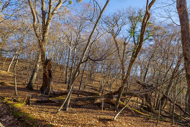 ウッドサークルに守られたミズナラの老木