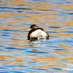 Aves en las lagunas de La Guardia (Toledo). 26-11-2017
