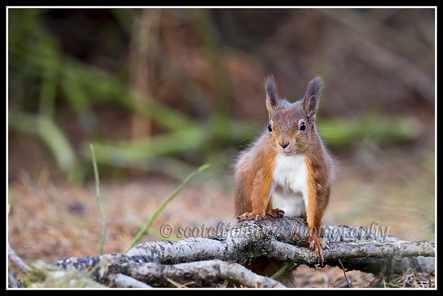 IMG_0032 Red Squirrel