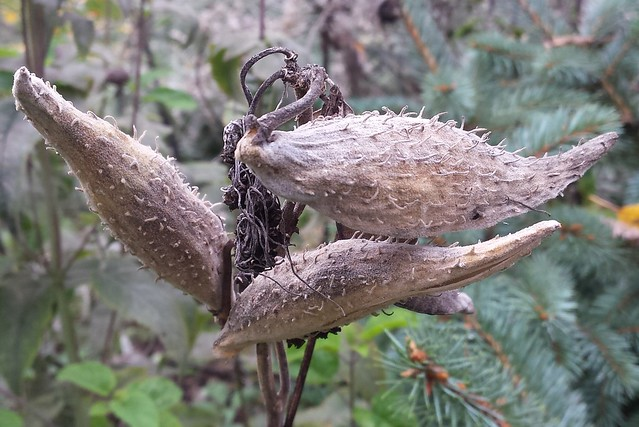 three brown milkweed pods, one pointing to the left and two stacked and pointing to the right