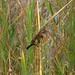 Stonechat ; Saxicola torquatus : rubicola ♀: female
